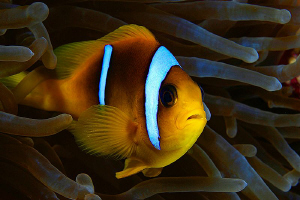 Clown Fish and Anemone - Red Sea - Egypt. by Jim Garland 